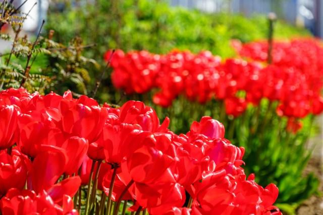 Die Tulpen blühen immer noch