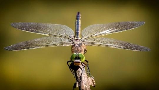 En la década de 1970, la CIA creó un Robot Dragonfly Spy. Ahora sabemos cómo funciona