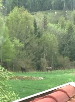 Vi gikk nesten glipp av disse elgene som koste seg utenfor syrommet!