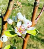 Pæretreets delikate blomster og fargepalett ga videre inspirasjon
