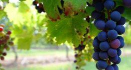 Presentan iniciativa para fortalecer el desarrollo del sector vitivinícola en Guanajuato
