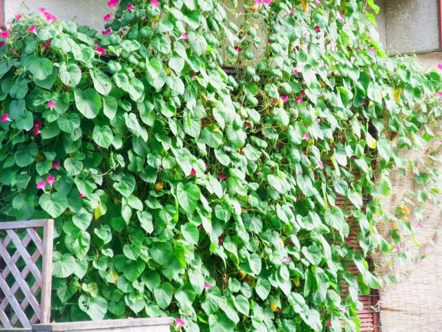花で作る緑のカーテン