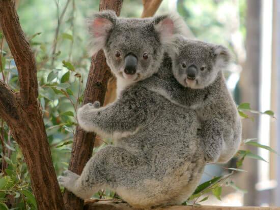 コアラのいる動物園って東京周辺ではこの3ヶ所だけって知ってますか?