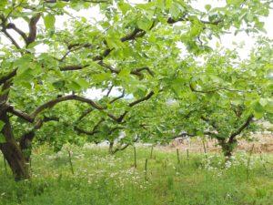 市田柿の畑2