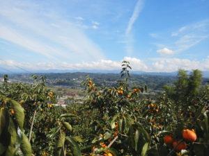 市田柿の畑