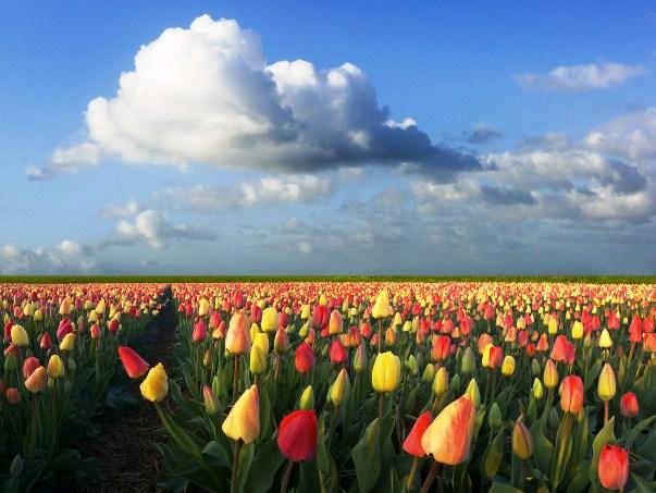 tulipánhagymák mező
