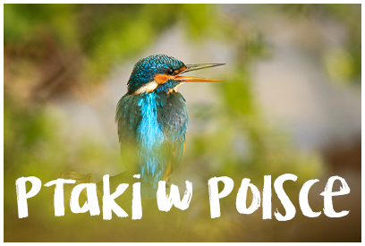 Najładniejsze zdjęcia ptaków z Polski