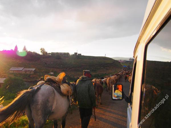 drogi w Armenii, krowy na drodze