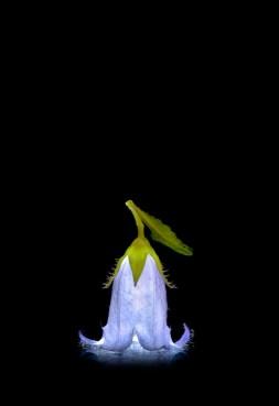 SommerbluetenGlockenblume