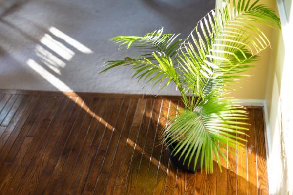 Areca palm: care - Light, temperature, humidity and location