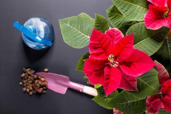 Poinsettia Care - Poinsettia Watering