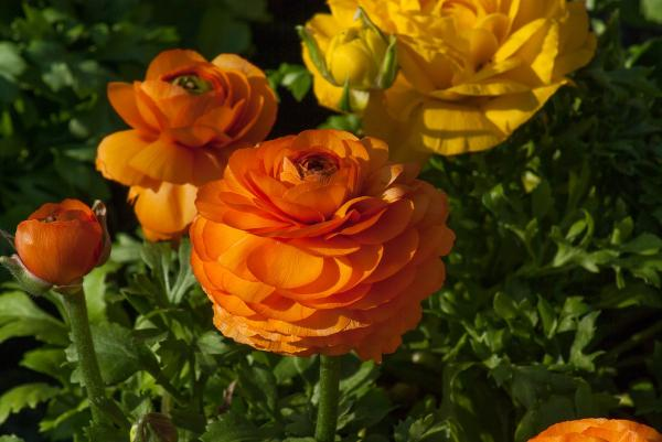 Buttercup Care - How To Plant Ranunculus