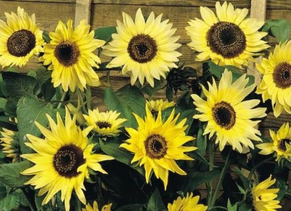 Types of Sunflowers - Moonwalker