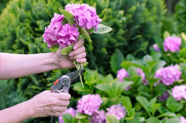 How to Prune Hydrangeas - When to Prune Hydrangeas