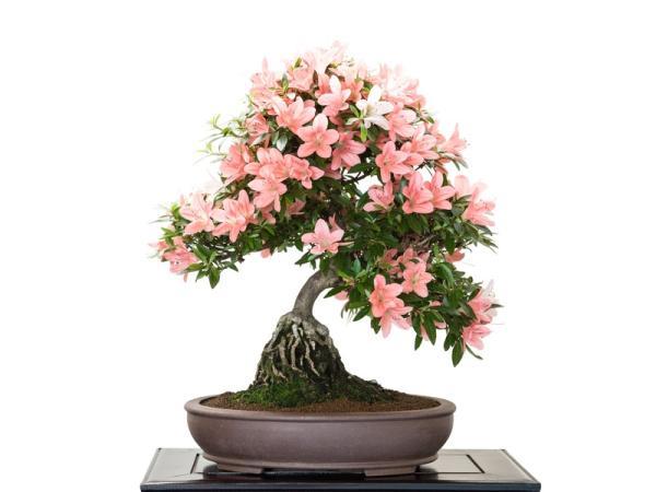 19 types of bonsai - Ne Agari or neagari