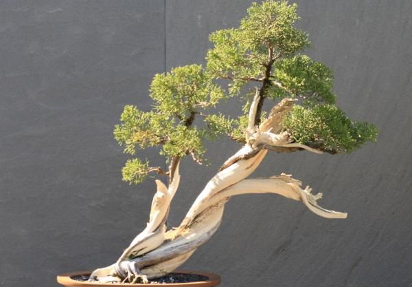 19 types of bonsai - Shakan or slant style