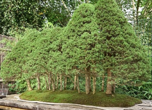 19 types of bonsai - Yose Ue or forest style
