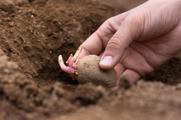 When to sow potatoes - When to sow potatoes or potatoes - the best time