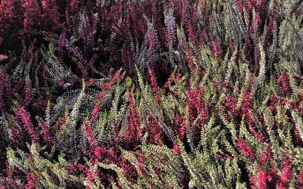 Heather plant: care - Heather care in winter outdoors