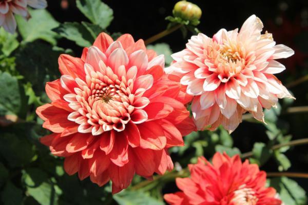 Dahlia care - Characteristics of dahlias or dahlias