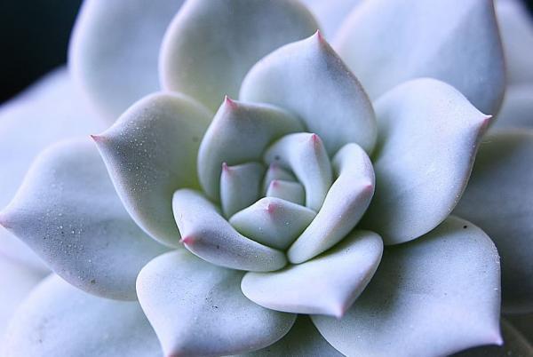 Types of succulents - Echeveria