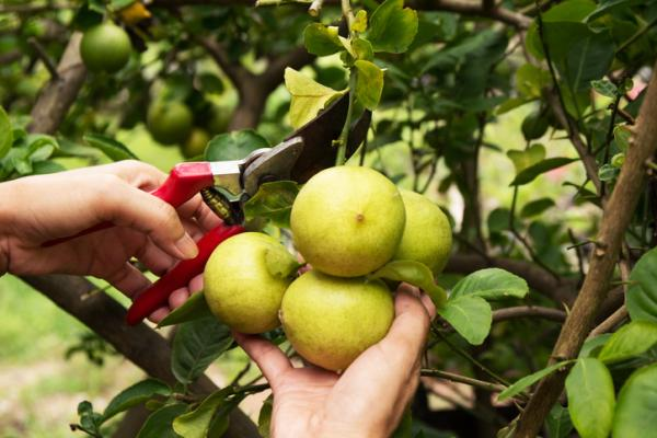 Prune a lemon tree: how and when to do it - When to prune a lemon tree