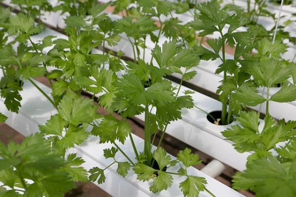 How To Plant Coriander And Grow It - How To Plant Coriander Step By Step