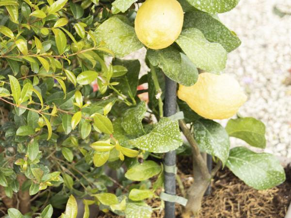 Potted lemon tree: how to plant it, care and diseases - How to plant a potted lemon tree step by step