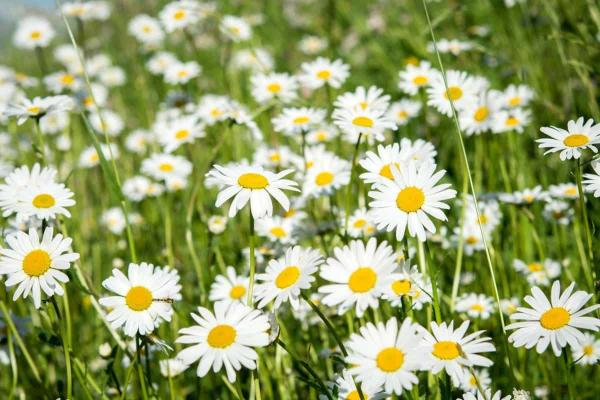 +15 Autumn Plants for the Garden - Meadow Daisy and Aster