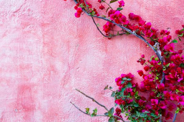 Outdoor plants resistant to cold and heat - Bougainvillea or Bougainvillea sp