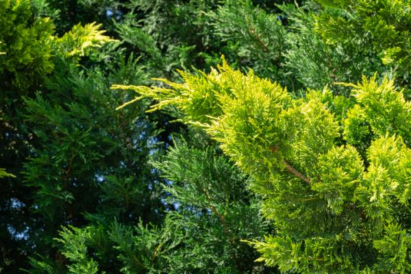 Heat and cold resistant outdoor plants - Cypress leylandi or Cupressocyparis leylandii