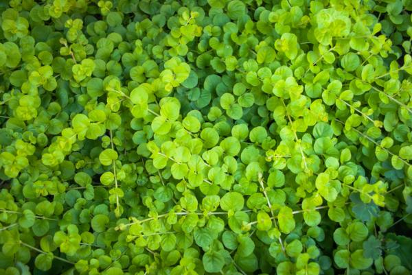 Heat and cold resistant outdoor plants - Dichondra or Dichondra repens