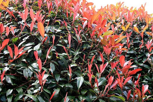 Heat and cold resistant outdoor plants - Fotinia or Photinia x fraseri 'Red Robin'