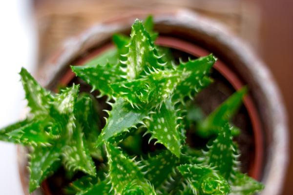 Types of aloe vera - Aloe juvenna