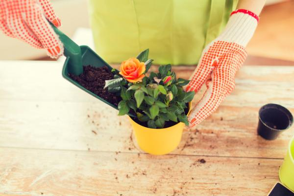 How to care for a potted rose bush - Substrate for potted roses