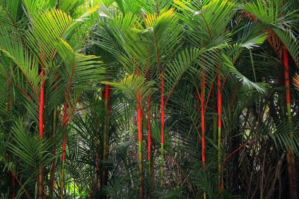 Types of palm trees - Cyrtostachys renda