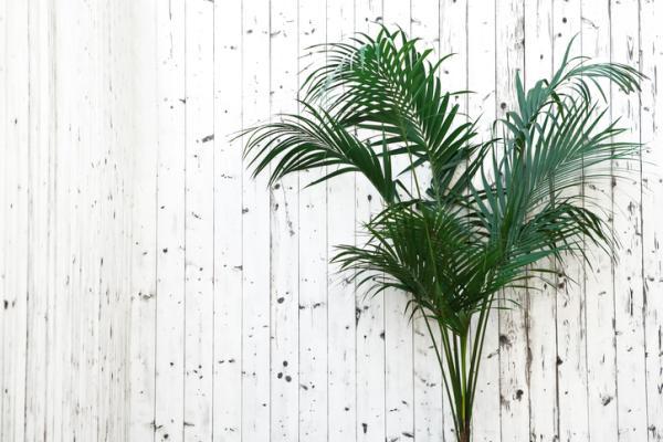Types of palm trees - Howea forsteriana