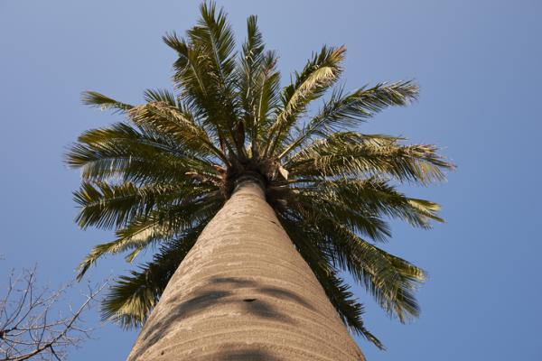 Types of palm trees - Jubaea chilensis