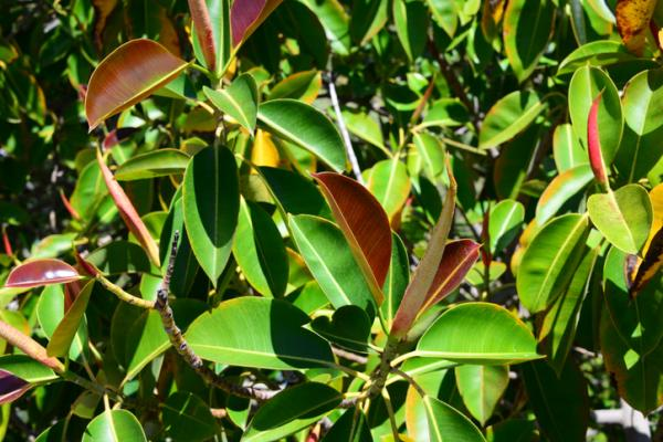 How to prune a ficus - How to prune a robust or elastic ficus