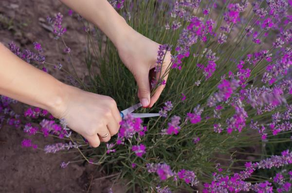 Prune Lavender: How and When to Do It - Types of Lavender