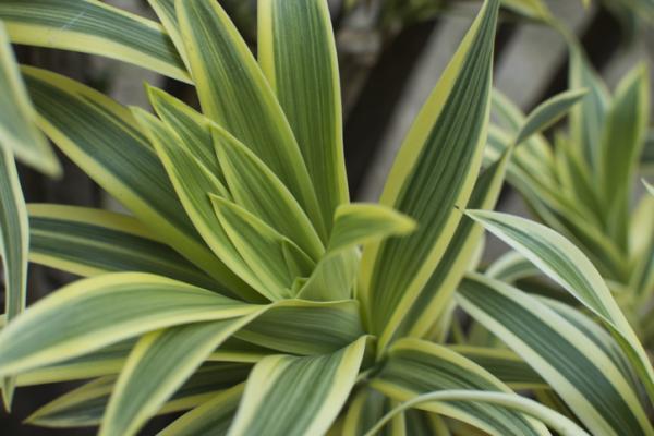 Indoor green plants - Tronco de Brasil