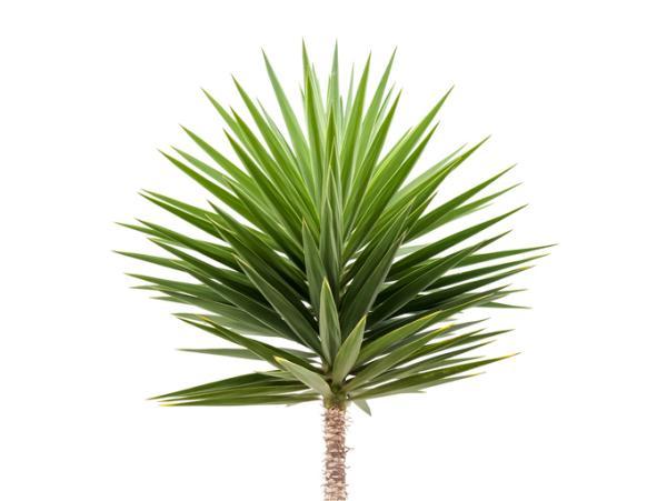Indoor green plants - Yucca