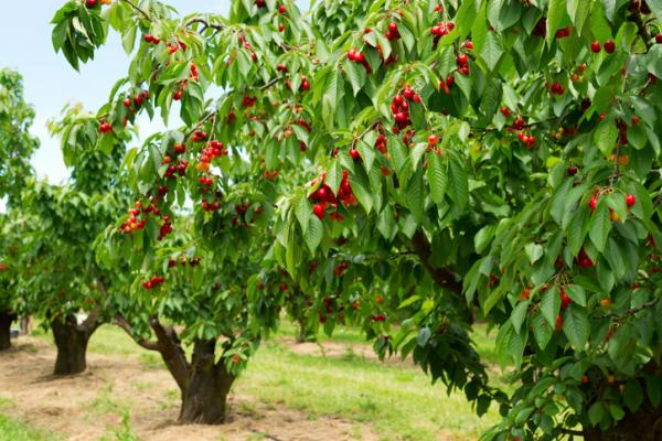 Prune a cherry tree: when and how to do it - When to prune a cherry tree