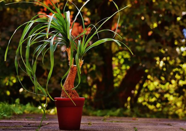 Elephant's foot or nolina plant: care - Elephant's foot or nolina plant: characteristics