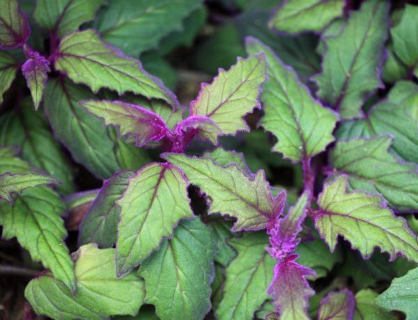 16 Small Plants - Velvet Nettle or Gynura