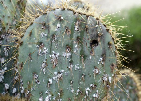 How to combat pests on succulents - How to eliminate the cottony mealybug on succulents