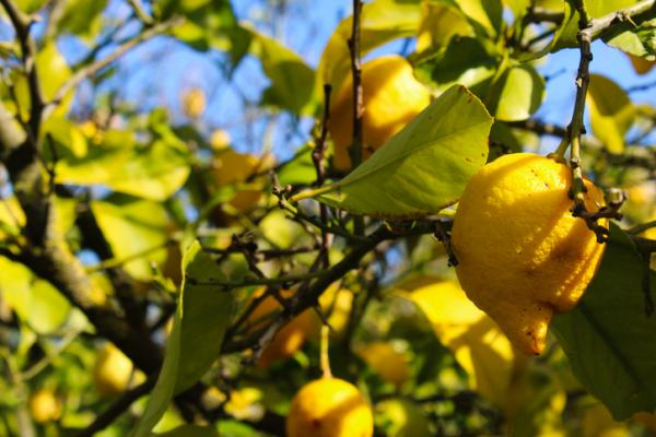 Yellow leaves on the lemon tree: causes and how to save it - Yellow leaves due to lack of nitrogen