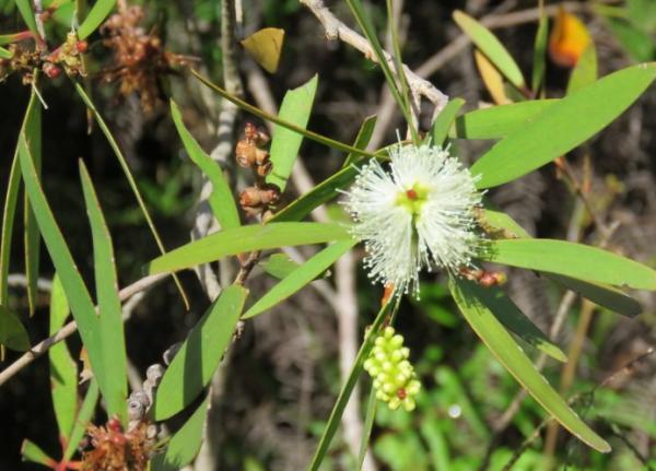 Moisture Absorbing Plants - Niaouli or Melaleuca quinquenervia