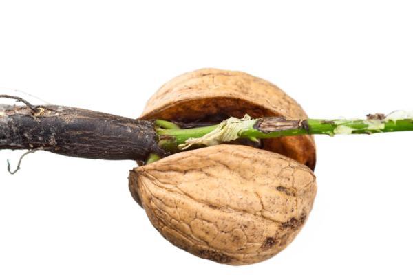 How to germinate a walnut - How to germinate a walnut step by step