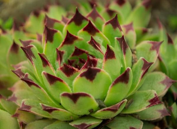 Succulents with flowers: names, characteristics and photos - Immortelle (Sempervivum)